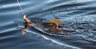 Fishing for Pickerel. A pickerel fish being reeled in stock photo
