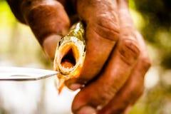 Fishing Piranha at Amazon River. Amazon jungle Royalty Free Stock Photos