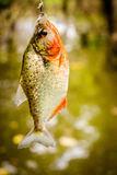 Fishing Piranha at Amazon River. Amazon jungle Stock Image