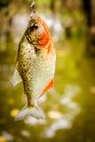 Fishing Piranha at Amazon River. Amazon jungle Stock Image