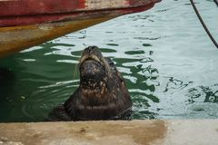Fishing port and sea lions, city of Mar del Plata, Argentina. Sea wolf stock photography
