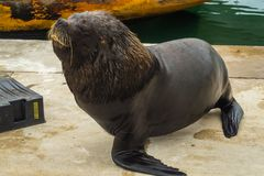 Fishing port and sea lions, city of Mar del Plata, Argentina. Sea wolf stock photos