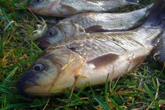 Fishing for Prussian carp. Fishing for white carp, Prussian carp, crucian carp in north ponds. Fish medium and small, coarse fish; nuisance animals Royalty Free Stock Image