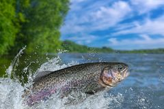 Fishing. Rainbow trout fish jumping with splashing in water royalty free stock photos