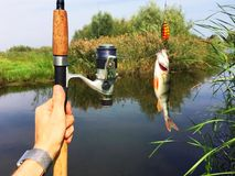 Fishing rod and a fish. Fishing rod and in man`s hands and a fish caught in a lake Stock Images