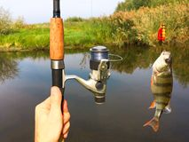 Fishing rod and a fish. Fishing rod and in man`s hands and a fish caught in a lake Royalty Free Stock Images