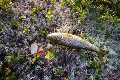Fishing  salmon fish of the North on  spinner lure Stock Images