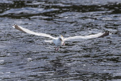 Fishing seagull Royalty Free Stock Images