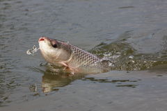 Fishing Seven-striped barb. Royalty Free Stock Images