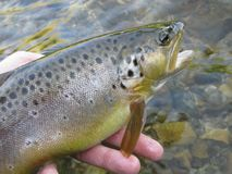 Fishing on small creek - brown trout Royalty Free Stock Images
