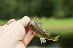 Fishing,small fish ruff in the hand on shore Royalty Free Stock Photos