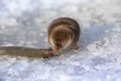shrewmouse and its extraction а small fish stock photos