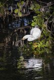 Fishing Snowy Egret - Sanibel Island, Florida. A snowy egret perches just above the water waiting for a meal to swim near in Ding Darling National Wildlife stock photography