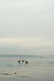 Fishing on the Sound. Three blue heron fishing on Puget Sound, along with a row boat and power boat Seattle Washington ocean water foggy fowl ocean Pacific royalty free stock photos