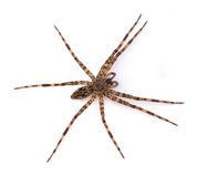 Fishing Spider Stock Image