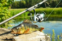 Fishing on spinning. The catch on the spinning rod on the river. A perch on a hook. Sports with spinning. Relax near the water. stock photo