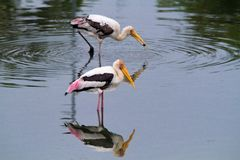 Fishing storks Royalty Free Stock Image