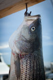 Fishing striped bass Stock Images