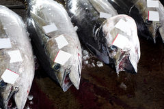 Fishing Thunnus Stock Images