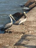 Two pelicans on the jetty stock image