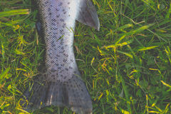Fishing trouts outdoor activity Stock Photography