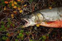 Fishing on the tundra. Freshly-Speared arctic char in the Arctic tundra Stock Images