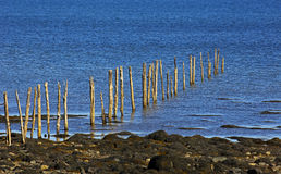 Fishing Weir Wood Poles Royalty Free Stock Photo