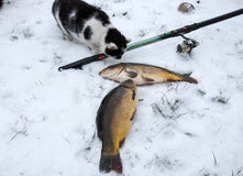 Fishing in winter carp caught in the snow, cat Royalty Free Stock Photo