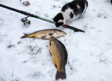 Fishing in winter carp caught in the snow, cat Stock Image