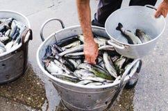 Fishman che seleziona una trota fresca cruda sopra il secchio del metallo in pieno con il fi Immagine Stock Libera da Diritti