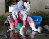 Fishmonger Cleans a Large Fish Royalty Free Stock Image