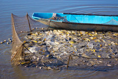 Fishpond. Fishing net full of Carp fish caught on a fishing farm,photography Royalty Free Stock Image