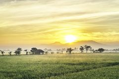 Fishpond followed by very vast, broad, extensive, spacious rice field. Very vast, broad, extensive, spacious rice field, streched into the horizon. group of tree Royalty Free Stock Photography