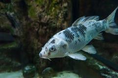 Fishs в аквариуме рыб реки Стоковая Фотография RF