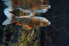 Fishs в аквариуме рыб реки Стоковое Фото