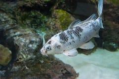 Fishs в аквариуме рыб реки Стоковые Изображения RF