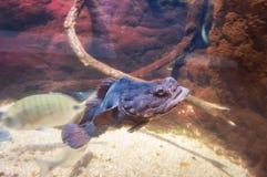 Fishs в аквариуме рыб реки Стоковое Изображение