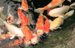 Fishs КАРПА Стоковые Фото