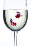 Fishs красного голубого полумесяца воюя Стоковое Изображение