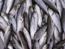 Fishs серой кефали Стоковые Фотографии RF