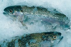 Fishs. Trouts royalty free stock photo