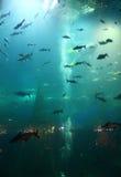 Fishs in acquario Immagine Stock Libera da Diritti