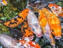 Fishs affamati di Koi che aspettano per essere feeded Immagini Stock