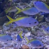 Fishs Caesio cuning Стоковое Изображение RF