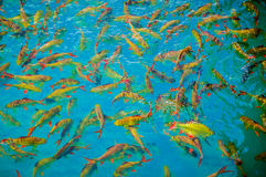 Fishs de lujo de la carpa en la charca Fotos de archivo libres de regalías