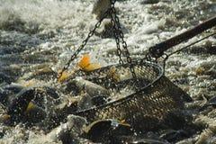 Fishs del remolque Foto de archivo libre de regalías