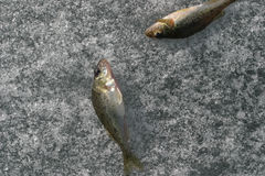 Fishs en el hielo Imágenes de archivo libres de regalías