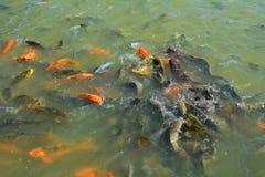 Fishs in farm Royalty Free Stock Photo