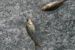 Fishs no gelo imagens de stock royalty free