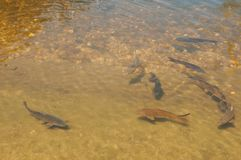 Fishs in un piccolo lago Immagine Stock Libera da Diritti